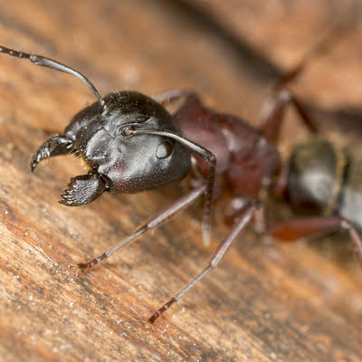 Carpenter ants are just some of the common spring pests that affect your lawn in the spring.