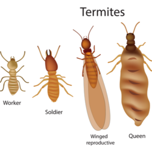 image showing caste system of termites